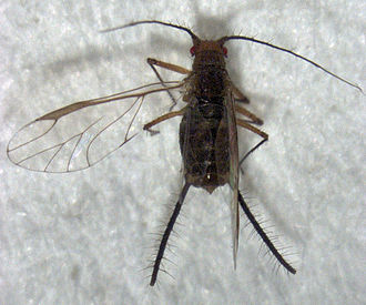 Greenidea ficicola - Image: Greenidea ficicola