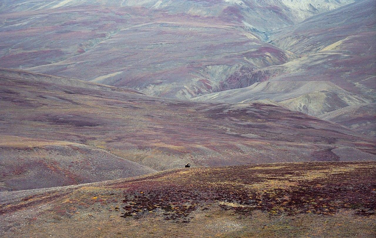 Grenlandzki pejzaż z piżmowołem