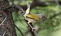 Grey-backed Camaroptera, Camaroptera brachyura, at Pilanesberg National Park, South Africa (15996350385).jpg
