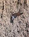 Grey-throated Martin (Riparia chinensis), Chitwan, Nepal (21450792789).jpg