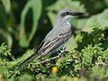 Grey Kingbird (Tyrannides).jpg
