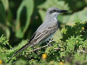 Gray kingbird - Image: Grey Kingbird (Tyrannides)