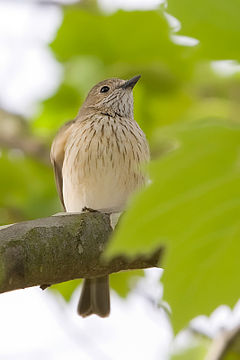 Grey shrike thrush.jpg