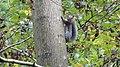 Grey squirrel (25569363567).jpg