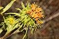 Grindelia integrifolia 2783.JPG