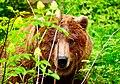 Grizzly Bear in Alaska.jpg