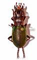 Ground Beetle (Iniopachus auriculatus) male (8554335341).jpg