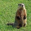 Groundhog Female Standing.jpg