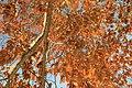 Gule høstblader på eiketre på Eiktunet.jpg