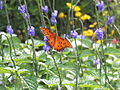 Gulf Fritillary rests on Blue Porterweed (9606646919).jpg