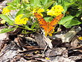Gulf Fritillary still able to fly (9609874824).jpg