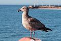 Gull 4972.jpg