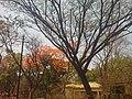 Gulmohor Blossom In FC Campus Pune - panoramio.jpg