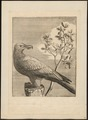Gypaëtus barbatus - 1700-1880 - Print - Iconographia Zoologica - Special Collections University of Amsterdam - UBA01 IZ18100007.tif