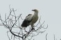Gypohierax angolensis - Carlos Vermeersch Santana.PNG