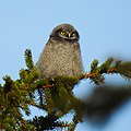 Hökuggla Northern Hawk Owl (20162563678).jpg