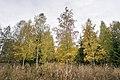 Høstbjørk 02-10-19.jpg