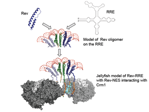 "HIV Rev response element - Jellyfish model of Rev/RRE assembly. This is a schematic representation of how an export-competent Rev–RRE complex might form: Rev molecules assemble onto the RRE scaffold to form an oligomeric assembly. In the ""jellyfish"" model, the jellyfish head comprises Rev oligomers and RRE; the Rev–NESs form the ""tentacles"" that interact with Crm1 (shown in the space-filled model) making the complex ready for export."