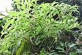 HK 上環 Sheung Wan 卜公花園 Blake Garden plants compound leaves October 2017 IX1 01 (2).jpg