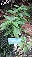 HK 上環 Sheung Wan 香馨里 Heung Hing Lane garden 百草園 plant 白鶴靈芝 Rhinacanthus nasutus Wing Lok Street Sept-2014 RedMi.jpg