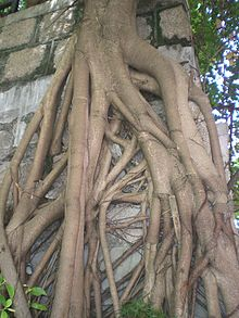 HK Happy Valley Hawthorn Road big tree roots.JPG