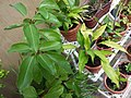 HK Mid-levels High Street clubhouse green leaves plant February 2019 SSG 03.jpg