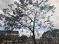 HK SYP 西環 Sai Ying Pun 香港中山紀念公園 Dr Sun Yat Sen Memorial Park tree February 2020 SS2.jpg