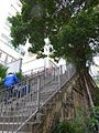 HK Sheung Wan 上環 磅巷 Pound Lane stairs tree Feb-2016 DSC 008.JPG