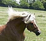 Haflinger Stallion.jpg