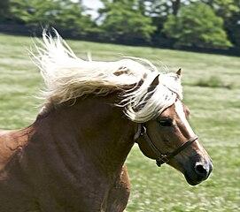 271px-Haflinger_Stallion dans CHEVAL