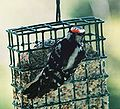 HairyWoodpecker004.jpg