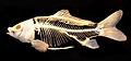Hal - Cyprinus carpio and Amia calva skeletons detail.jpg