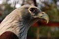 Haliastur indus -Hua Hin Zoo, Thailand -head-8a.jpg