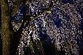 Hanami in Tsutsujigaoka park (42205035855).jpg