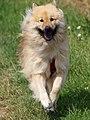Happy dog - Flickr - Stiller Beobachter.jpg