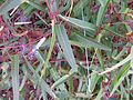 Hardenbergia violacea leaf10 ANBG ST - Flickr - Macleay Grass Man.jpg