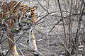 Hazel Eyes of the Tiger.jpg