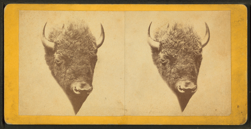 File:Head of a buffalo, from Robert N. Dennis collection of stereoscopic views.png