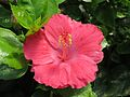 Heavenly hibiscus.JPG