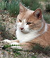 Hedwig Yellow Cat 5040.jpg