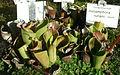 Heliamphora nutans - Botanischer Garten Braunschweig - Braunschweig, Germany - DSC04339.JPG