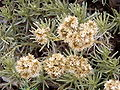 Helichrysum italicum dried flowers.jpg