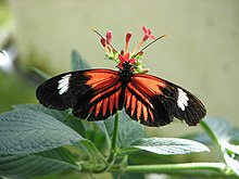 Description de l'image Heliconius melpomene.jpg.