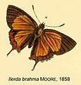 Heliophorus brahma Moore1858OD.jpg