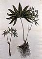 Hellebore (Helleborus atrorubens); fruiting stem with roots Wellcome V0043010.jpg