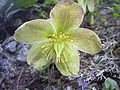 Helleborus niger Rax 2.jpg