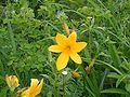 Hemerocallis dumortieri Kiritappu wetland02.jpg