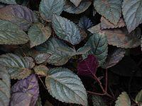 Hemigraphis alternata (leaves)