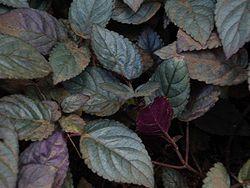 Hemigraphis alternata (leaves).jpg