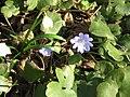 Hepatica transsilvanica03.jpg